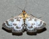 4952 - Small Magpie - Anania hortulata
