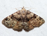 8499 – Common Fungus Moth – Metalectra discalis