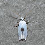 0122 – Gooseberry Barkminer – Pseudopostega quadristrigella