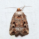 9681.1 - Pale-winged Midget - Elaphria alapallida