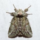 7990 – White-blotched Heterocampa – Heterocampa umbrata