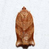 3633 – Parellel-banded Leafroller – Choristoneura parallela
