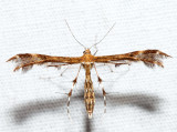 6091 – Grape Plume Moth – Geina periscelidactylus