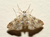 4749 – Elophila faulalis