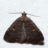 8329 – Orange-spotted Idia – Idia diminuendis