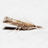 5381 – Corn Root Webworm Moth – Neodactria caliginosellus