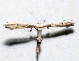 6168 – Eupatorium Plume Moth – Oidaematophorus eupatorii