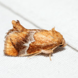 4665 – Yellow-shouldered Slug Moth – Lithacodes fasciola