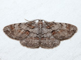 6582 - Large Purplish Gray - Iridopsis vellivolata (m)