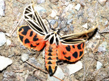 8197 – Virgin Tiger Moth – Grammia virgo