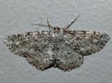 6620 - Canadian Melanolophia - Melanolophia canadaria (m)