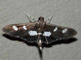 5159 – Grape Leaffolder – Desmia funeralis