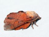 7687 - Lappet Moth - Phyllodesma americana