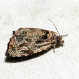 2776 – Woolly-backed Moth – Olethreutes furfuranum