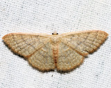 7132 - Common Tan Wave - Pleuroprucha insulsaria