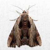 8857 – Ultronia Underwing – Catocala ultronia