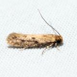 0412 – Niditinea orleansella