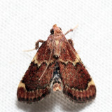 5526 - Red-shawled Moth - Pseudasopia intermedialis