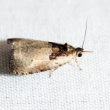 2820 – Malana Leafroller – Olethreutes malana