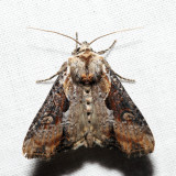 9385.1 – Double Lobed Moth – Lateroligia ophiogramma