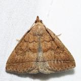 8349 – Zanclognatha protumnusalis