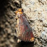 9520 - Elder Shoot Borer - Achatodes zeae