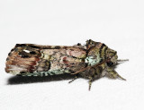8007 – Unicorn Caterpillar Moth – Schizura unicornis