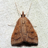 5079 – Celery Leaftier Moth – Udea rubigalis