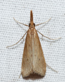 5321 – Brown Donacaula – Donacaula roscidellus