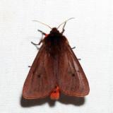 8156 - Ruby Tiger Moth - Phragmatobia fuliginosa