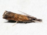 5379 – Mottled Grass-veneer – Neodactria luteolellus