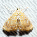 4869 - Common Glaphyria - Glaphyria glaphyralis