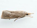 5492 – Wainscot Grass-veneer – Eoreuma densella
