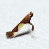0595 – Caloptilia bimaculatella