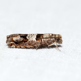 3218 - Constricted Sonia - Sonia constrictana