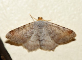 6340 – Minor Angle – Macaria minorata