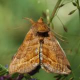 8896 – Dark-spotted Looper – Diachrysia aereoides