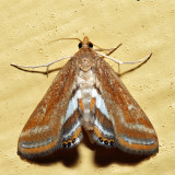 4763 – Floating-heart Waterlilly Moth – Parapoynx seminealis