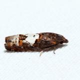 3202 - Bidens Borer - Epiblema otiosana