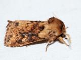 9523.1 - Black-tailed Diver - Bellura vulnifica