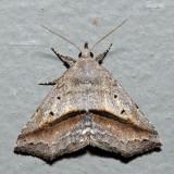 8491 – Lost Owlet – Ledaea perditalis