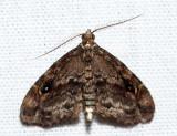 8412 - Gold-lined Melanomma - Melanomma auricinctaria