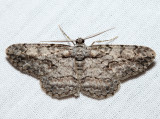 6583 - Pale-winged Gray - Iridopsis ephyraria
