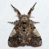 8296 – Yellow-based Tussock Moth – Dasychira basiflava