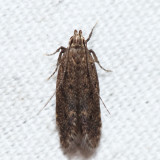 1923 – Bryotropha similis (T)