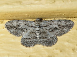 6590 – Common Gray – Anavitrinella pampinaria