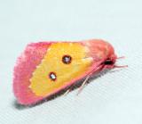 11055 – Pink Star Moth – Derrima stellata