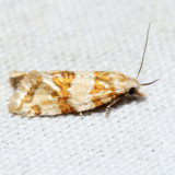 3780 – Rings' Cochylid – Cochylis ringsi