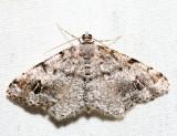 6343 – Six-spotted Angle – Macaria sexmaculata