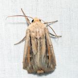 10447 – Leucania commoides